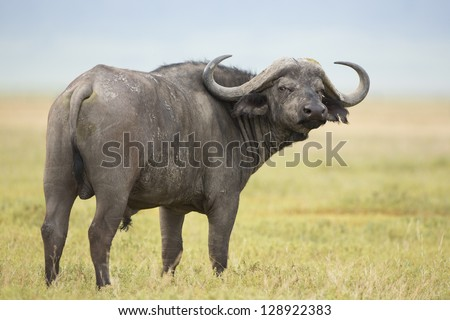 Male Cape Buffalo (Syncerus caffer) Tanzania. In the Ngorongoro Crater