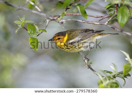 Male Cape May Warbler perched on a tree branch - Ohio - stock photo