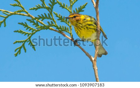 Male Cape May Warbler perched on top of a cedar tree looking out. Rouge National Urban Park, Toronto, Ontario, Canada.