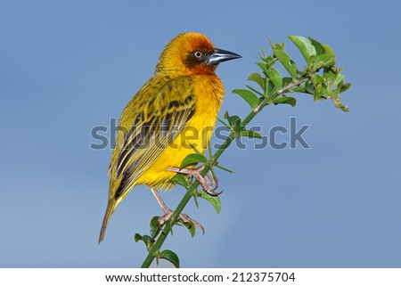 Male Cape weaver (Ploceus capensis) perched on a branch against a blue sky, South Africa - stock photo