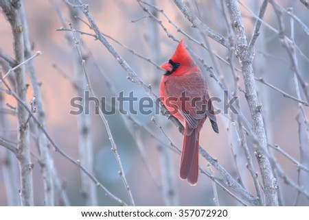 Male cardinal at the end of the day. - stock photo
