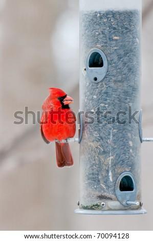 Male cardinal (Cardinalis cardinalis) sits on sunflower filled bird feeder - stock photo
