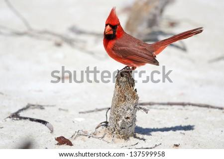 Male Cardinal on the beach. State bird of Illinois, Indiana, Kentucky, North Carolina, Ohio, Virginia and West Virginia  - stock photo