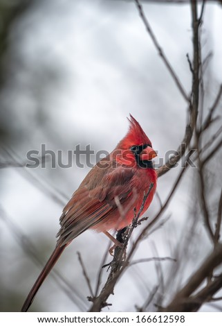 Male cardinal perched in a tree on a snowy Texas day - stock photo