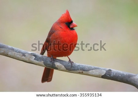 Male cardinal perched on a sycamore branch. - stock photo
