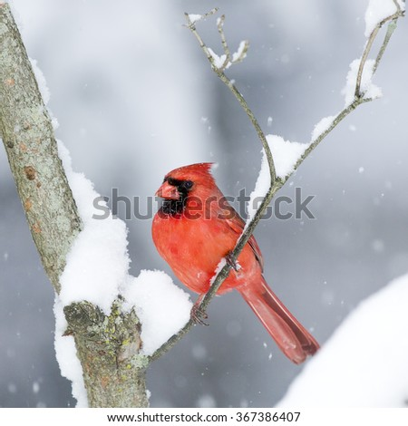Male Cardinal perched on branch in the Snow