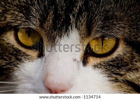 male cat closeup eyes and nose