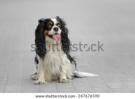 Male cavalier king charles spaniel dog outdoors - stock photo