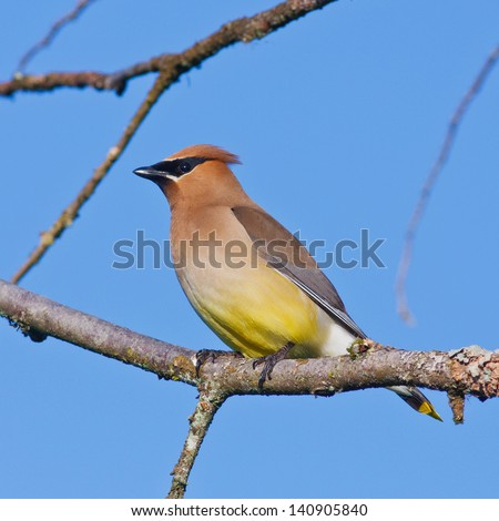 Male Cedar Waxwing resting in a tree branch on a clear evening. - stock photo