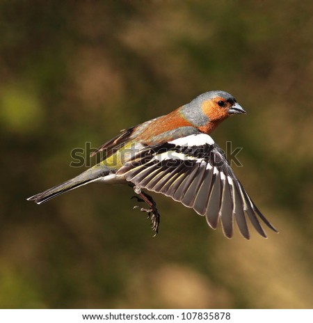 Male Chaffinch bird in flight - stock photo