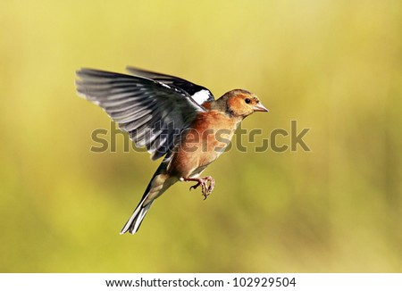 Male Chaffinch hovering in flight - stock photo