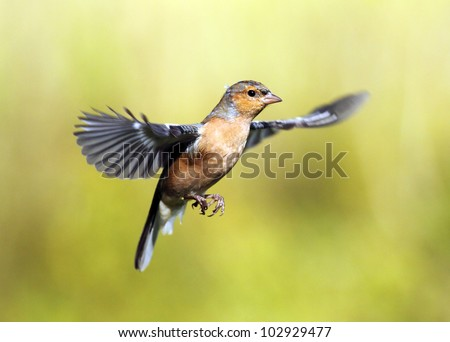 Male Chaffinch in flight