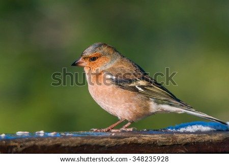 Male chaffinch in winter plumage profile - stock photo