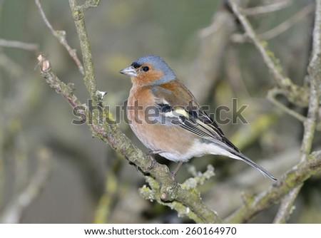 Male Chaffinch on branch - Fringilla coelebs - stock photo