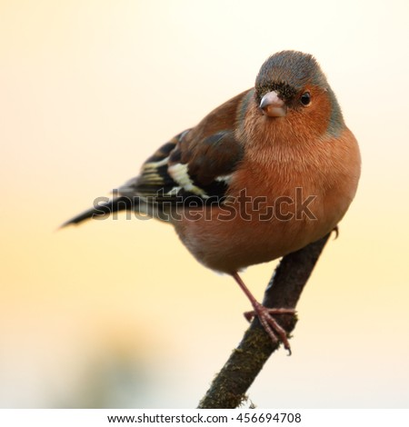 Male Chaffinch perched on a bare stick - stock photo