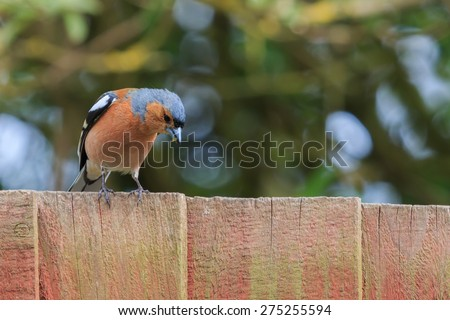 Male Chaffinch perched on wooden fence - stock photo
