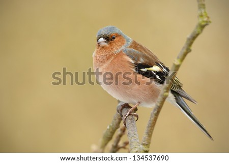 Male Chaffinch sitting on a branch with soft green background