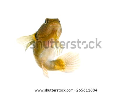 Male Chameleon Goby-Tridentiger trigonocephalus, on white background.