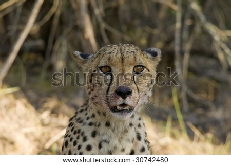 Male cheetah in an Eastern Cape reserve.