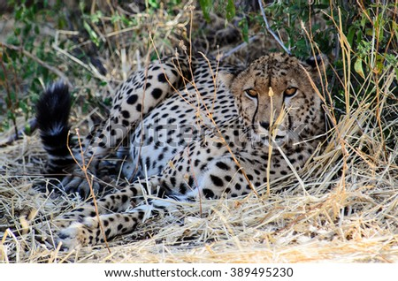 Male Cheetah lying in the undergrowth