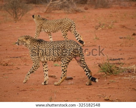 Male cheetah moving through their territory in the Madikwe Game Reserve, South Africa