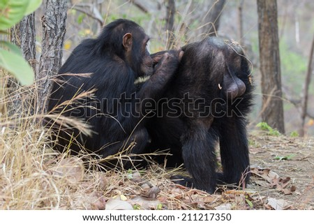 Male chimp being groomed by one of his allies - stock photo