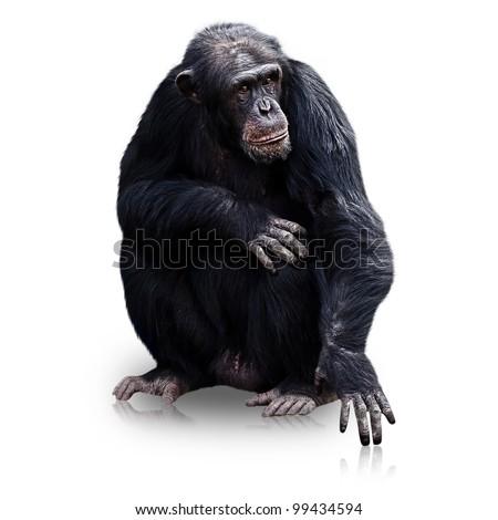 male chimpanzee isolated on white background - stock photo