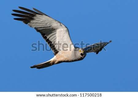 Male Cinereous Harrier (Circus cinereus) screaming while looking at camera in flight. Patagonia, Argentina, South America. - stock photo