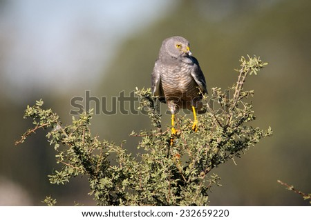 Male Cinereus Harrier (Circus cinereus) screaming perched on a Piquillin (Condalia microphylla) schrub. Patagonia, Argentina, South America. - stock photo