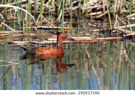Male Cinnamon Teal in breeding plumage with full reflection - stock photo