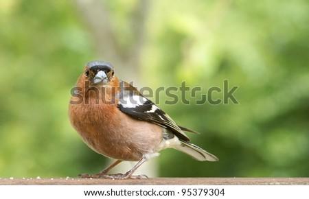 Male Common Chaffinch (Fringilla coelebs) - stock photo