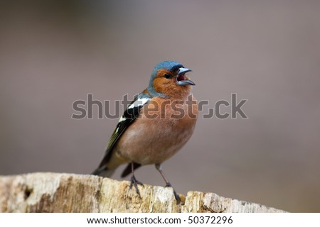 Male Common Chaffinch (Fringilla coelebs) perching stump. Singing bird.