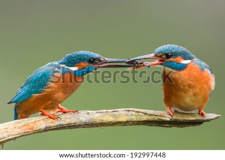 Male common kingfisher passing catch to female - stock photo