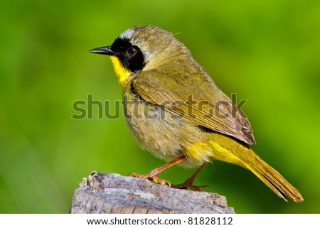 Male Common Yellow Throat Warbler On Tree Stump Against Soft Green Foliage Background