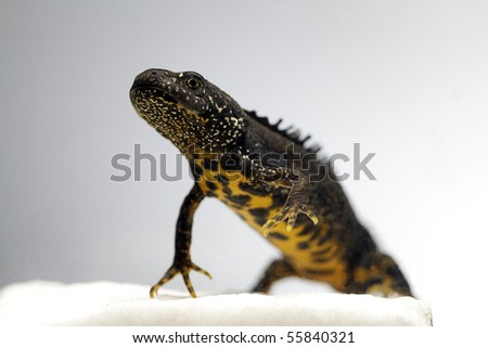 male crested newt adult close up triturus cristatus beautiful endangered amphibian close up of adult animal underwater - stock photo