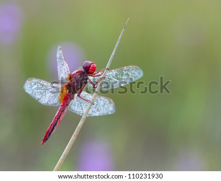 Male Crocothemis erythraea Dragonfly(Broad Scarlet or Scarlet Darter) with a great soft background with different colors