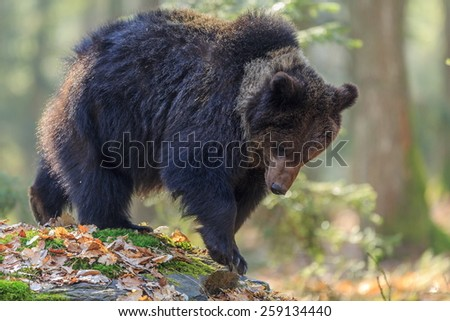 male cube brown bear on the way for food - stock photo