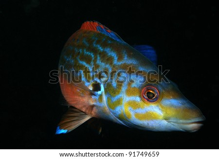 Male Cuckoo Wrasse - stock photo