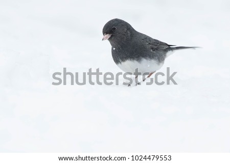 Male Dark-eyed Junco, Slate-colored subspecies, standing in the snow. Lynde Shores Conservation Area, Whitby, Ontario, Canada.