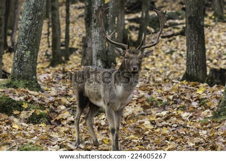 Male deer in a forest environment