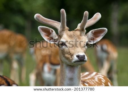 male deer on a meadow - stock photo