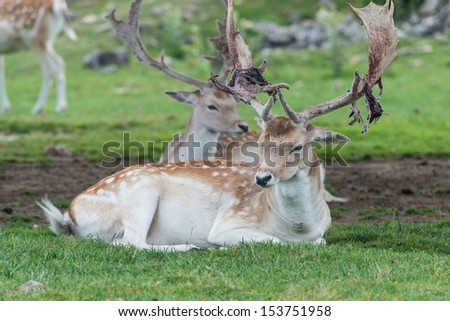 Male deer resting with a pack of deers - stock photo