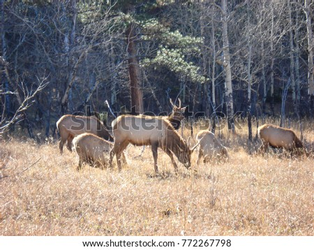 Male deer with herd grazing in Rocky Mountain forest