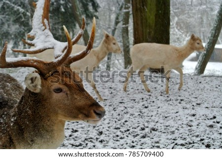 Male deer with snowy anters / white deer in background / snowy winter day