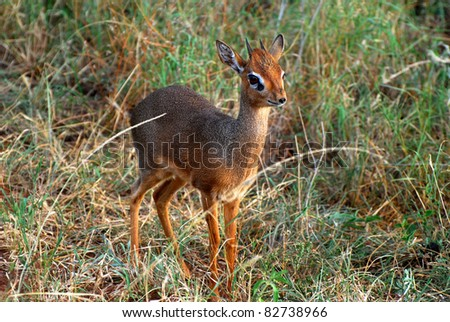 Male Dik Dik - stock photo