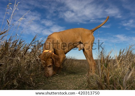 male dog sniffing the ground outdoors in the grass - stock photo