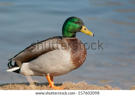 Male drake mallard duck at the riverside - stock photo