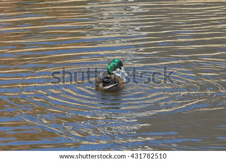 Male duck mallard (Anas platyrhynchos) swims.