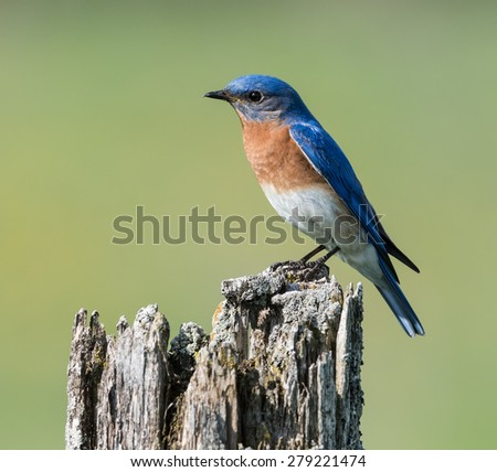 Male Eastern Bluebird  - stock photo