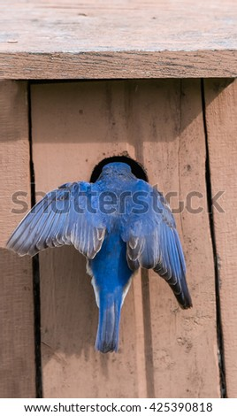 Male Eastern Bluebird at Nest Box - stock photo
